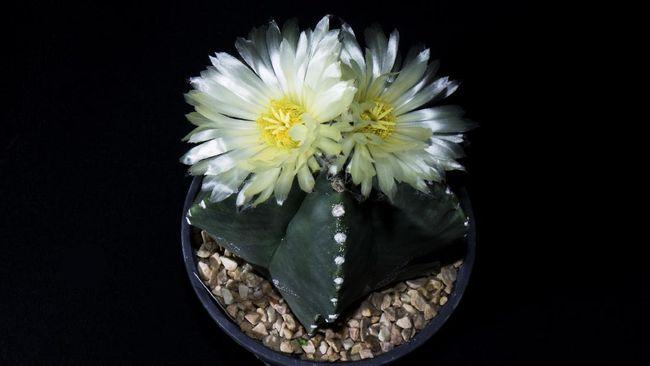 Meski dikenal berduri runcing, terdapat jenis lain yang tanpa duri dan berbunga cantik. Berikut jenis tanaman hias kaktus yang tidak berduri.